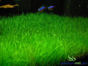 "ELEOCHARIS SP.""MINI"" - 150 SZT."