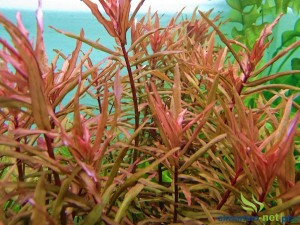 AMMANIA GRACILIS RED